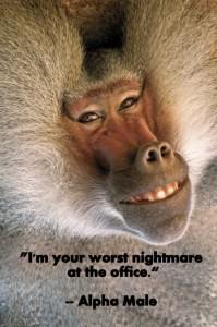 baboon alpha male